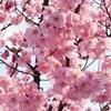 ご霊地の風景・桜